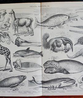 Antique Print, Cetacea Edentata & C. 1890