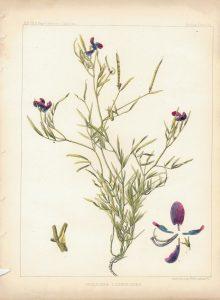 Antique Print, Hosackia Lathyroides, 1860 ca.