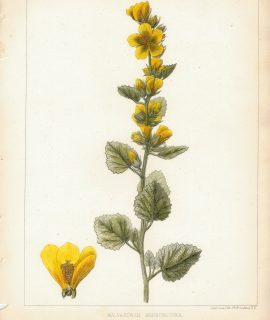 Antique Print, Malvastrum Marrubioides, 1860 ca.