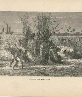 Antique Print, Gathering the Sugar Canes, 1870 ca.