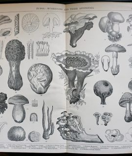 Antique Print, Fungi-Mushrooms, 1882