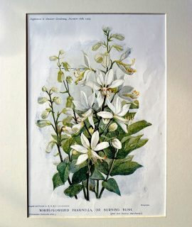Antique Print, White-Flowered Fraxinella, or Burning Bush, 1905