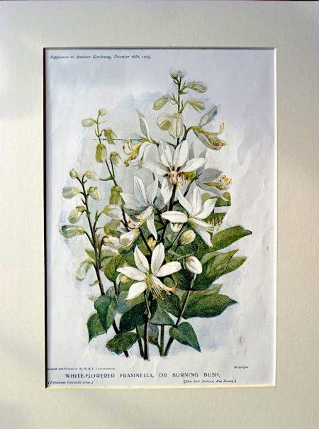 Antique Print, White-Flowered Fraxinella, or Burning Bush, 1905