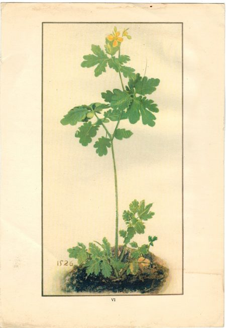 Antique Print, Fleurs, 1909