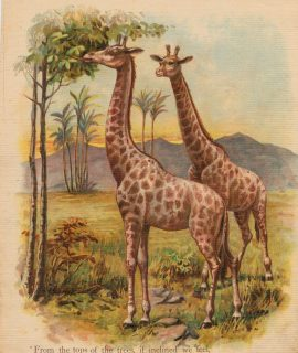 Rare Vintage Print, A very tall Couple; Kept at Bay, 1890 ca.