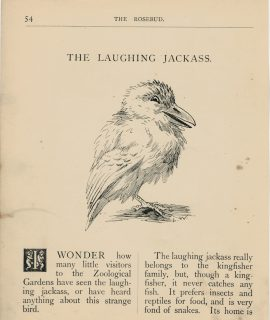 Vintage Print, The Laughing Jackass, 1895
