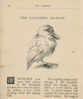 Vintage Print, The Laughing Jackass, 1895