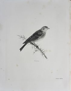 Vintage Engraving Print, The Linnet, by Medland Lilian Marguerite, 1906