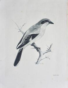 Vintage Engraving Print, The Great Grey Shrike, by Medland Lilian Marguerite, 1906