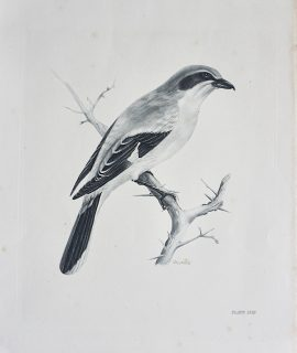 Vintage Engraving Print, The Great Grey Shrike, by Medland Lilian Marguerite, 1906