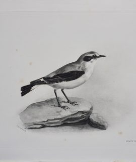 Antique Engraving Print, The Wheatear, Medland Lilian Marguerite, 1906