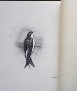 Vintage Engraving Print, The Martin, by Medland Lilian Marguerite, 1906