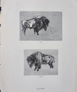 Vintage Print, A Bison; A Gipsy Encampment, 1870