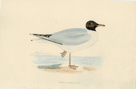 Antique Print, Black-Headed Gull, 1850