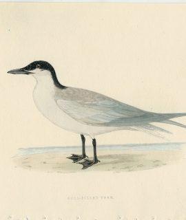 Antique Print, Gull-Billed Tern, 1850