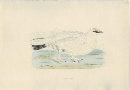 Antique Print, Ptarmigan, 1850