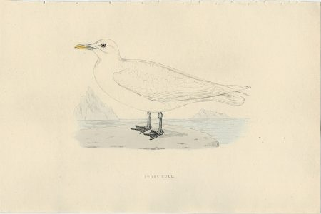 Antique Print, Ivory Gull, 1830