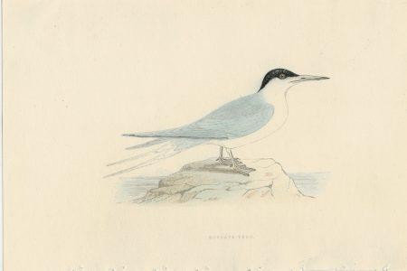 Antique Print, Roseate Tern, 1850 ca.