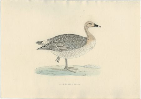 Antique Print, Pink-Footed Goose, 1850 ca.