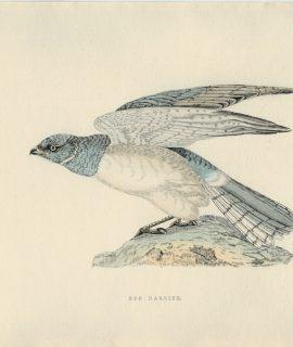Antique Print, Hen Harrier, 1850