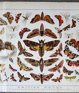Rare Large Vintage print, British Moths, 1880