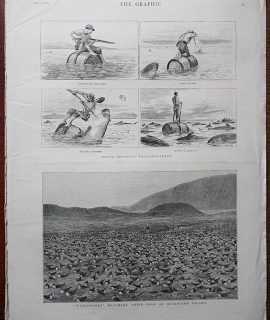 Antique Print, Wideawakes Hatching their Eggs at ascension Island, 1882