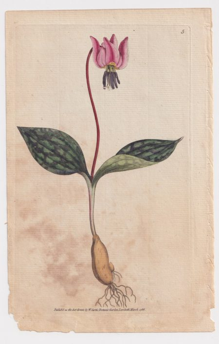 Antique Engraving Print, by W. Curtis, Botanic Garden, 1786