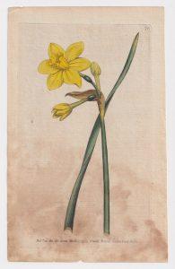 Antique Engraving Print, by W. Curtis, Botanic Garden, 1789