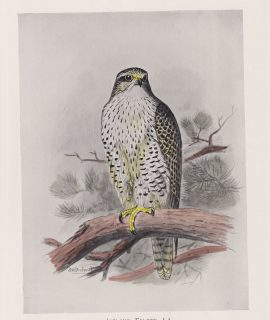 Vintage Print, Iceland Falcon, 1900