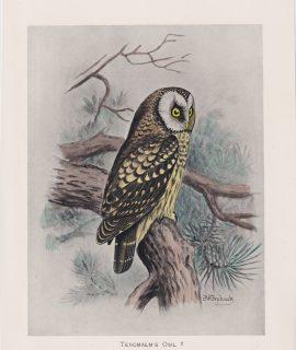Vintage Print, Tengmalm's Owl, 1900