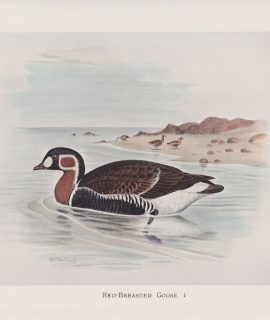 Vintage Print, Red-Breasted Goose, 1900