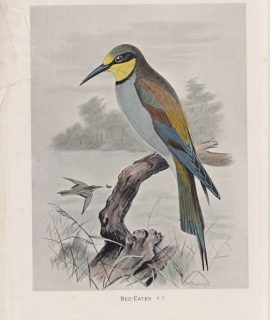 Vintage Print, Bee-Eater, 1900