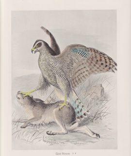 Vintage Print, Gos-Hawk, 1900