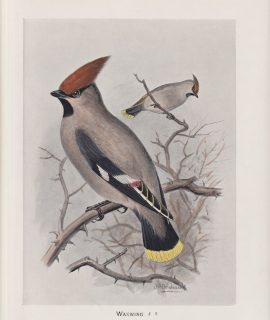 Antique Print, Waxwing, 1900