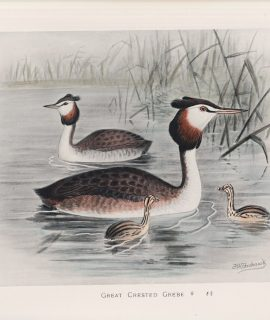 Vintage Print, Great Crested Grebe, 1900