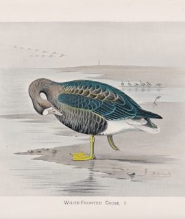 Vintage Print, White-Fronted Goose, 1900