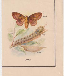 Antique Print, Lappet, 1890