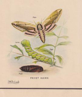 Vintage Print, Privet Hawk, 1890
