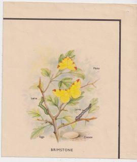 Antique Print, Brimstone, 1890