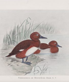 Vintage Print or White-Eyed Duck, 1900