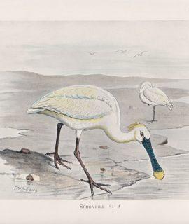 Vintage Print, Spoonbill, 1900