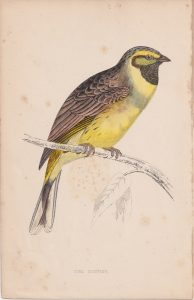 Antique Print, Cirl Bunting, 1852