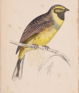 Antique Print, Cirl Bunting, 1852