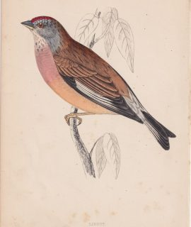 Antique Print, Linnet, 1852