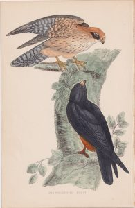 Antique Print, Orange-Legged Hobby, 1852