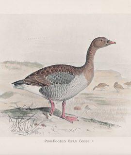 Vintage Print, Pink-Footed Bean Goose, 1900