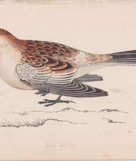 Antique Print, Snow Bunting, 1852