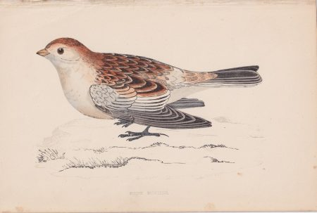 Antique Print, Snow Bunting, 1852