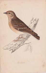 Antique Print, Wood Lark, 1852