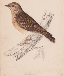 Antique Print, Wood Lark, 1852